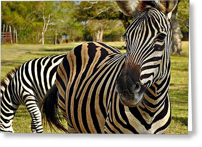 Zebra Greeting Card by John Collins
