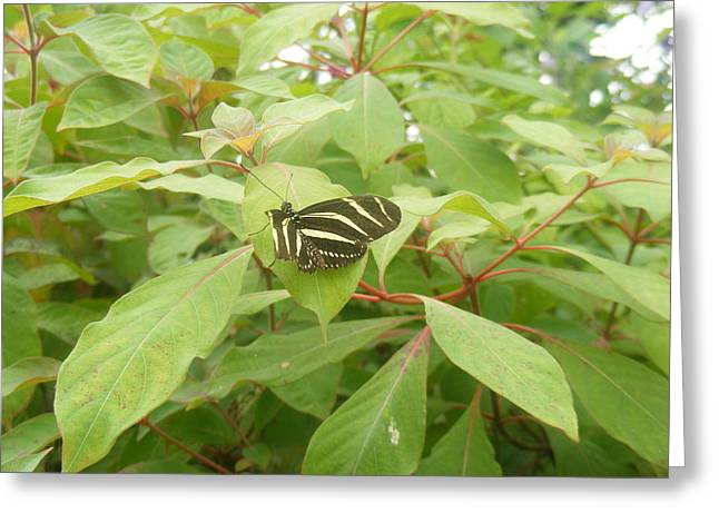 Zebra Longwing Butterfly Greeting Card by James and Vickie Rankin