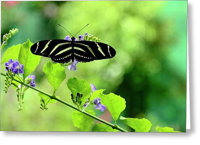 Greeting Card featuring the photograph Zebra Longwing Butterfly by Corinne Rhode