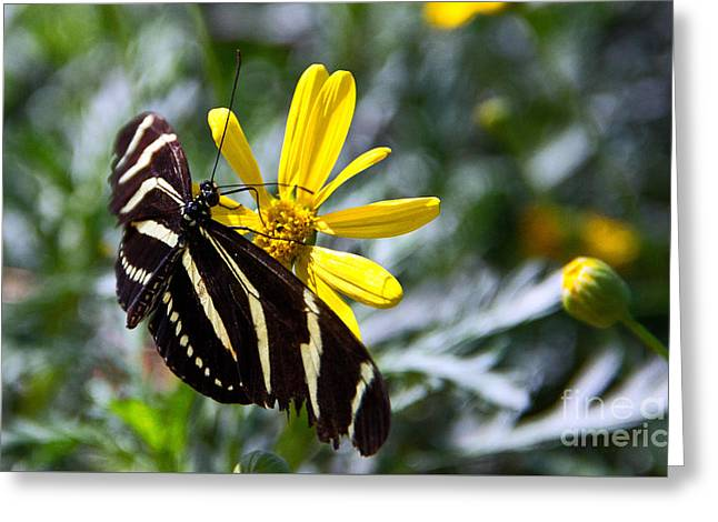 Zebra Longwing Feeding Greeting Card