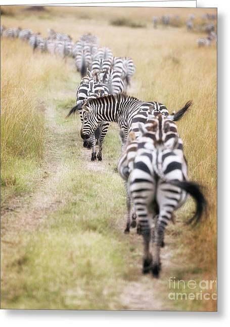 Zebra Migration In  The Masai Mara Greeting Card