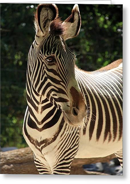 Zebra Portrait Greeting Card by Aidan Moran