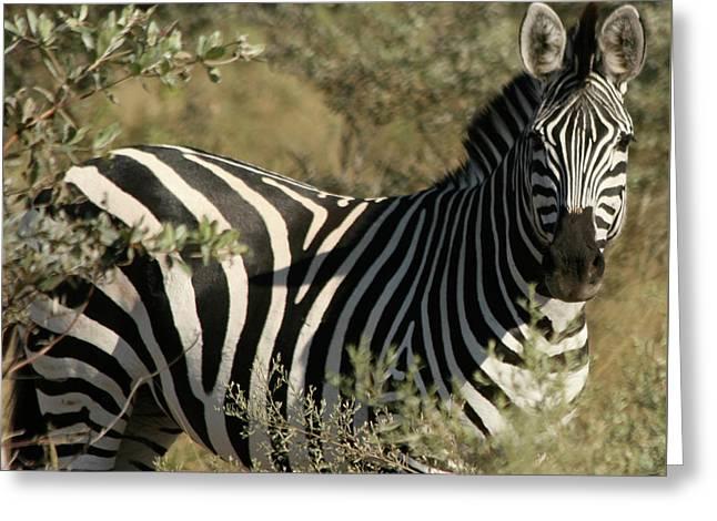 Zebra Portrait Greeting Card