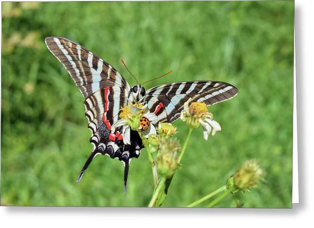 Zebra Swallowtail And Ladybug Greeting Card