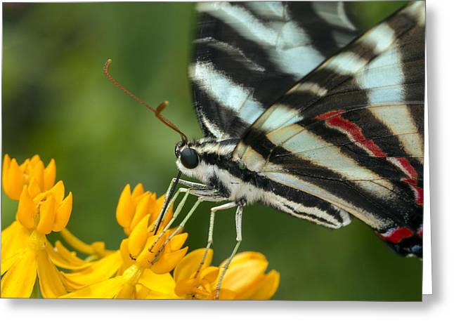 Zebra Swallowtail Drinking On The Fly Greeting Card
