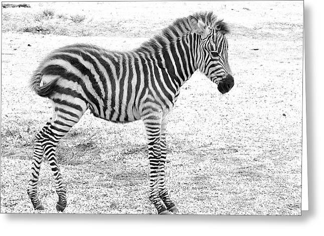 Greeting Card featuring the photograph Zebra White And Black Photography by David Mckinney