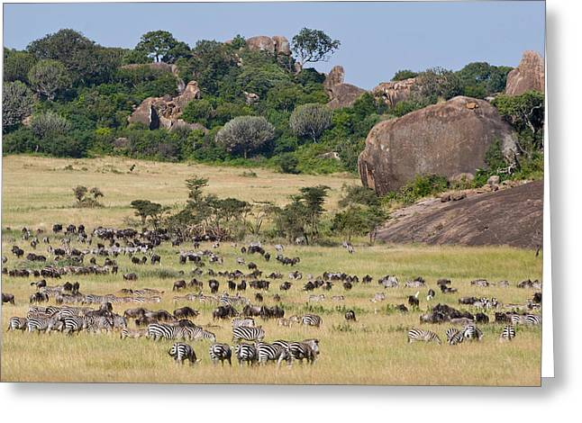 Zebras And Wildebeests Connochaetes Greeting Card by Panoramic Images