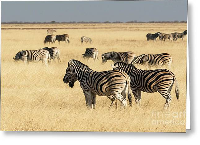 Greeting Card featuring the photograph Zebras In Golden Grass by Brenda Tharp