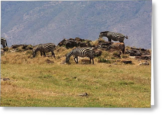 Zebras In The Ngorongoro Crater, Tanzania Greeting Card by Aidan Moran