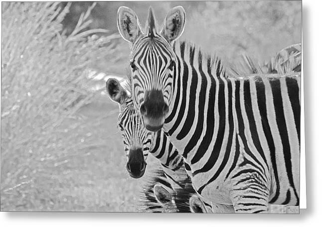 Zebras Greeting Card by Patrick Kain