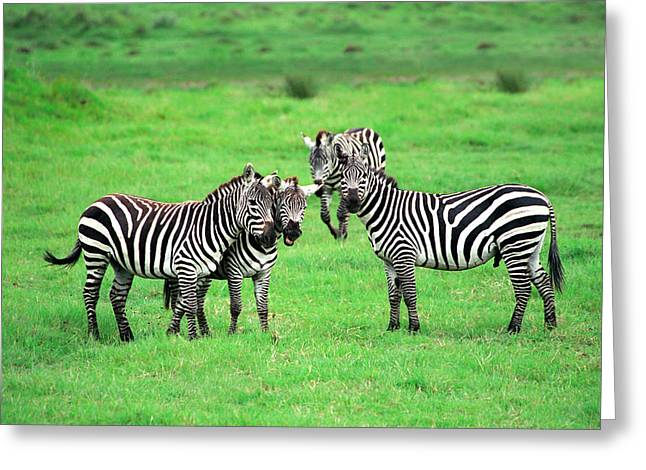 Zebras Greeting Card by Sebastian Musial