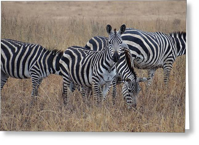 Zebras Walking In The Grass 2 Greeting Card