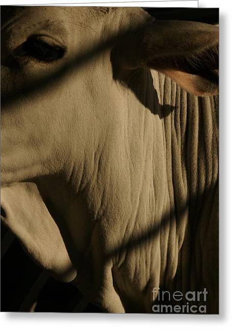Brahma Bull Greeting Cards - Zebu Greeting Card by Linda Knorr Shafer