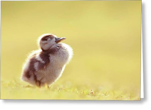 Zen Bird - Gosling Enjoying The Sun Light Greeting Card