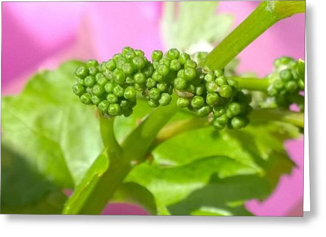 #zinfandel #wine #grapes Baby Buds Greeting Card