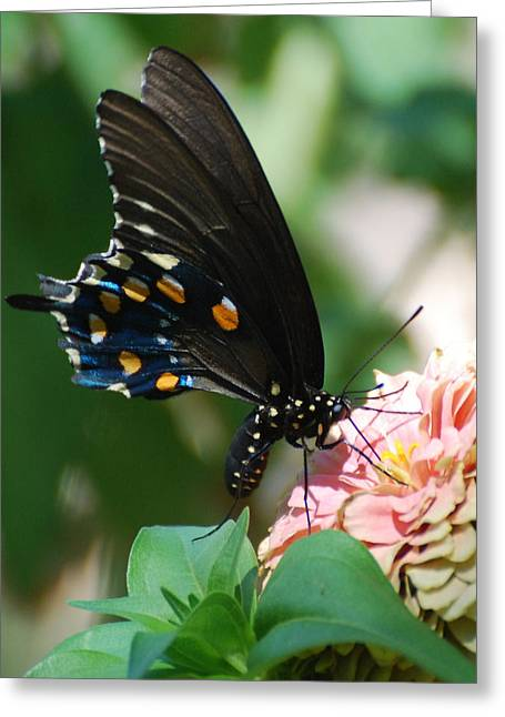Zinnia Butterfly Greeting Card
