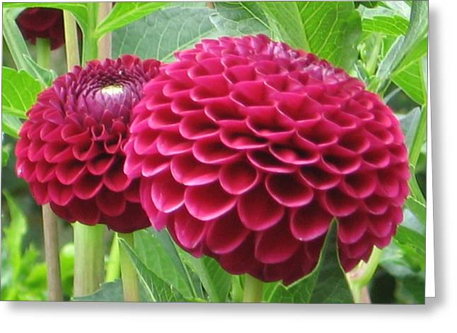 Zinnia Duet Greeting Card
