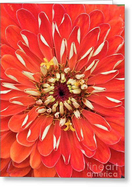 Zinnia Elegans Benarys 'giant Orange' Greeting Card