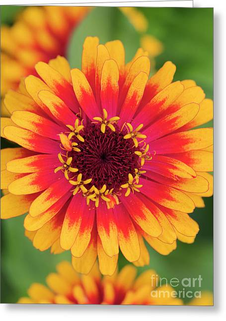 Zinnia Elegans Zowie Yellow Flame Flower  Greeting Card