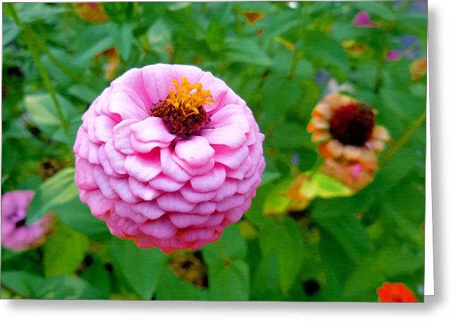 Zinnia Flower 3 Greeting Card by Lanjee Chee