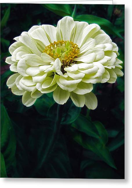 Zinnia Greeting Card by Jessica Jenney