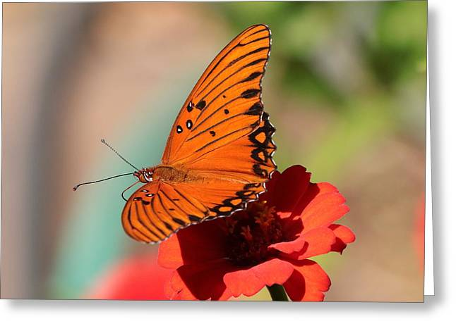 Zinnia With Butterfly 2669 Greeting Card