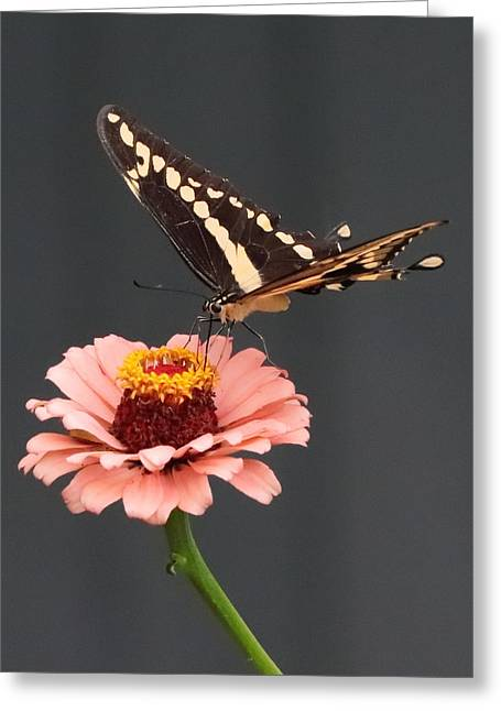 Zinnia With Butterfly 2702 Greeting Card
