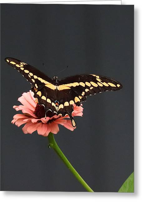 Zinnia With Butterfly 2708  Greeting Card