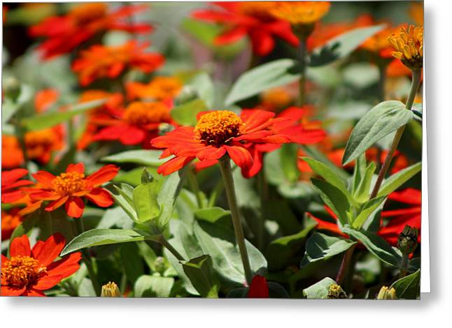 Zinnias In Autumn Colors Greeting Card