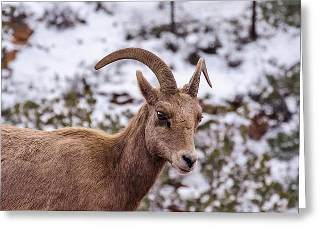 Zion Bighorn Sheep Close-up Greeting Card