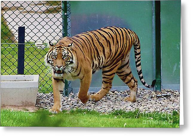 Greeting Card featuring the photograph Zoo Tiger Staring At Me by Merton Allen