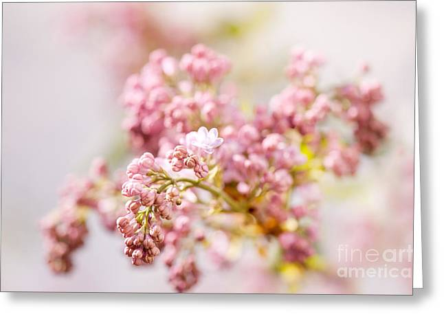 Zoomed Purple Syringa Vulgaris Or Lilac Buds  Greeting Card by Arletta Cwalina