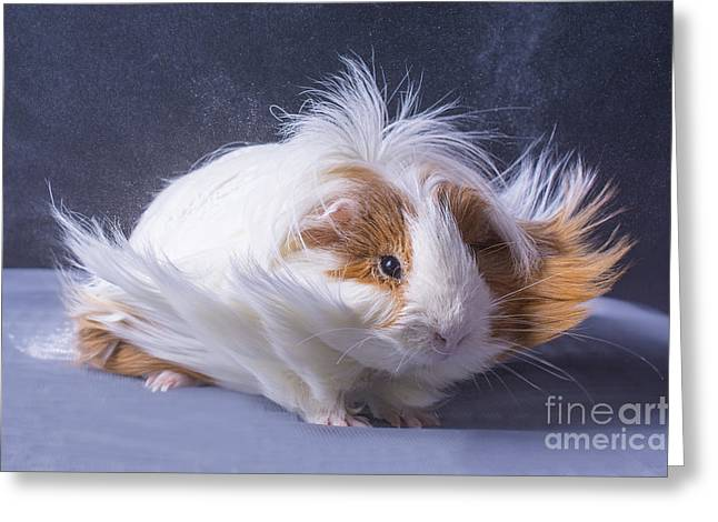 A Guinea Pigs Hair Is Blowing In The Greeting Card