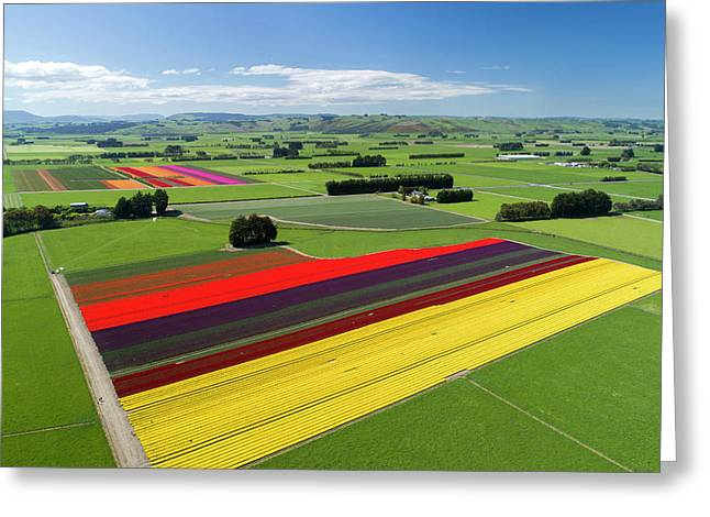 Aerial Of Colorful Tulip Fields Greeting Card by David Wall