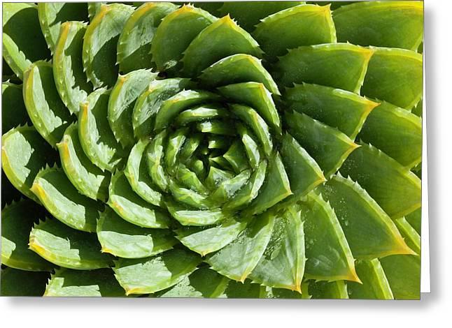 Aloe_polyphylla_8536.psd Greeting Card