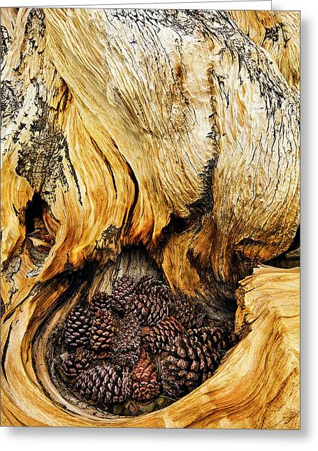 Ancient Bristlecone Pine Cones Caught Greeting Card by Adam Jones