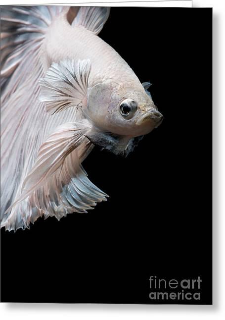 Betta Fish,siamese Fighting Fish In Greeting Card