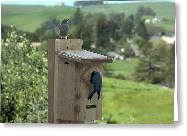 Bird House - Pair Of Western Bluebirds Greeting Card by Michael Riley
