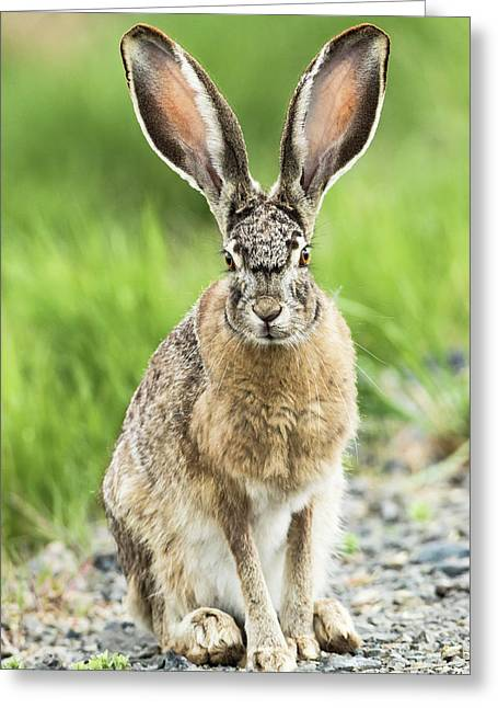Black-tailed Jackrabbit, Malheur Greeting Card
