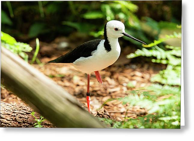 Greeting Card featuring the photograph Black-winged Stilt by Rob D Imagery
