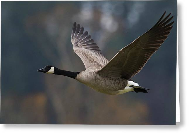 Canada Goose Flying Greeting Card