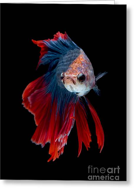 Colourful Betta Fish,siamese Fighting Greeting Card by Nuamfolio
