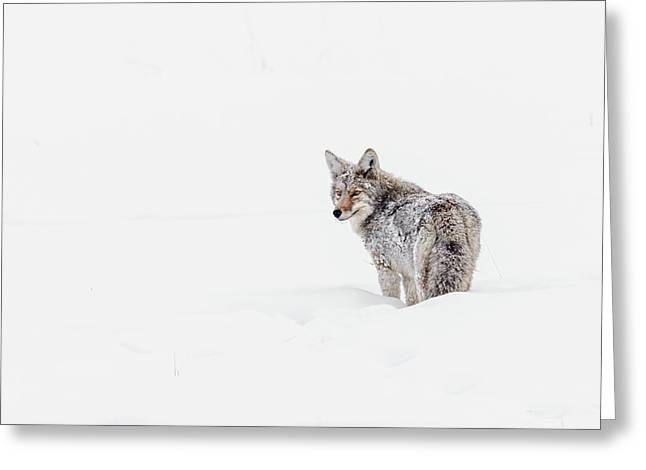Greeting Card featuring the photograph Coyote by Ronnie and Frances Howard