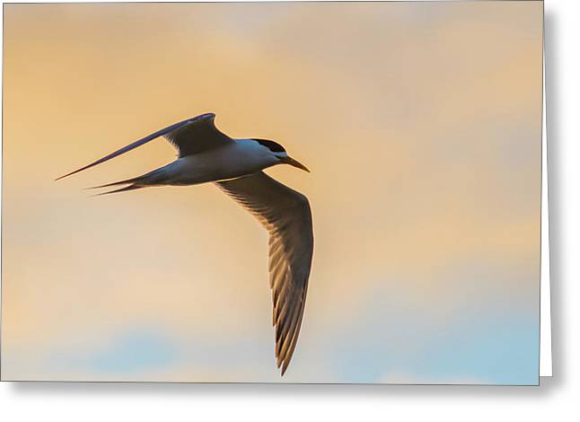 Crested Tern In The Early Morning Light Greeting Card