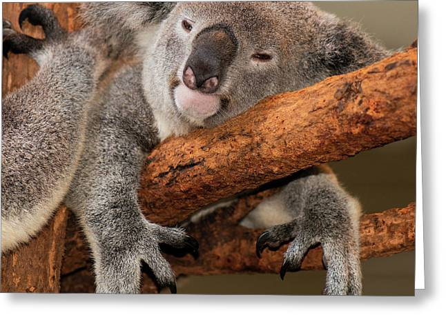 Cute Australian Koala Resting During The Day. Greeting Card