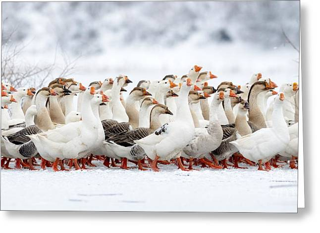 Domestic Geese Outdoor In Winter Greeting Card
