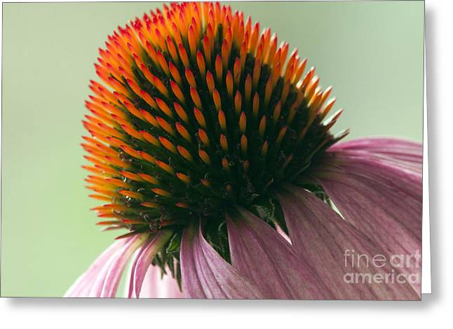 Echinacea Eye Candy Greeting Card