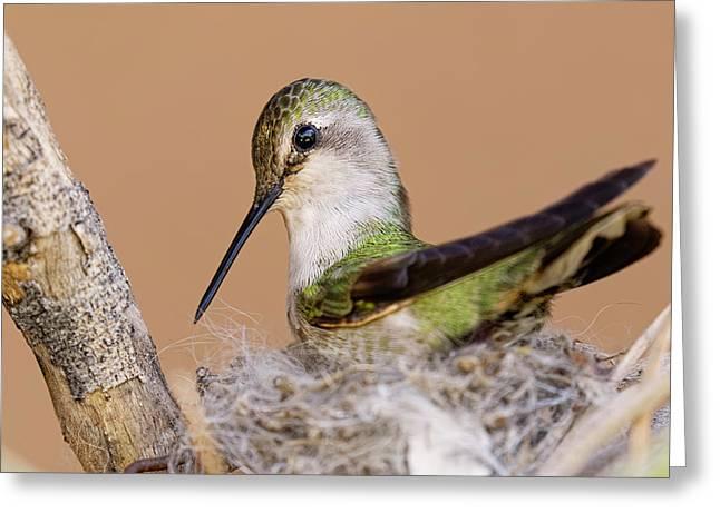 Female Anna's Hummingbird On Nest Greeting Card by Adam Jones