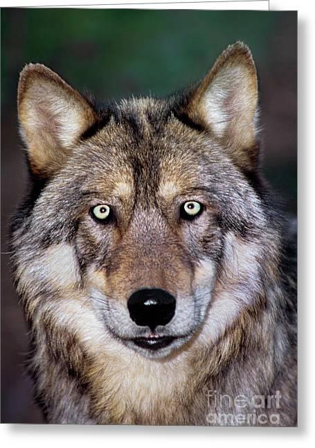 Gray Wolf Portrait Endangered Species Wildlife Rescue Greeting Card