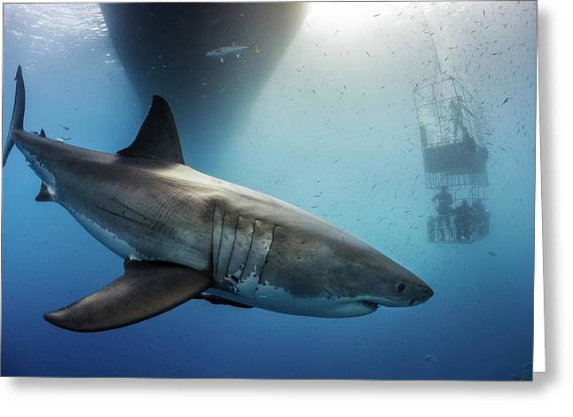 Greeting Card featuring the photograph Great White Shark by Nicole Young